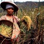 a lady farmer harvesting rice