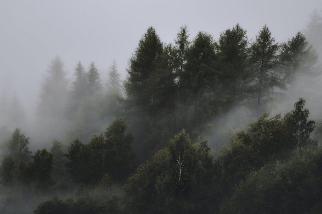 pins dans la brume